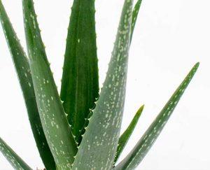 Wat is dat voor een cactus? Aloë vera!